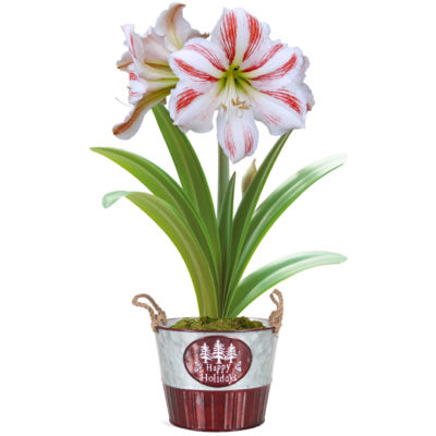 amaryllis_pot_clown