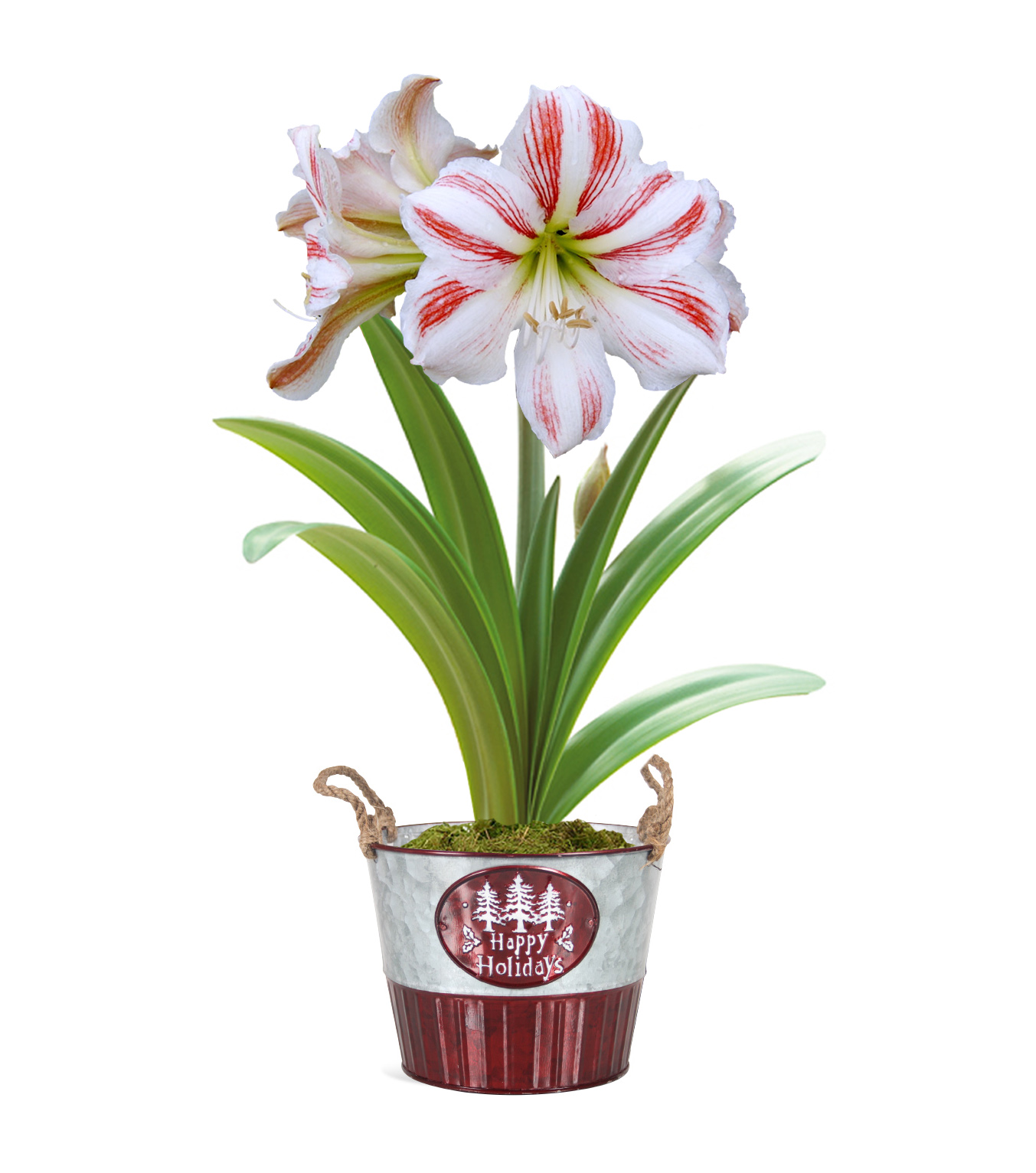 Amaryllis holiday pot gift kit 4 flower options flower for Pot amaryllis