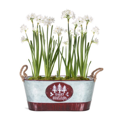 paperwhites_pot_craft_show_full_grown