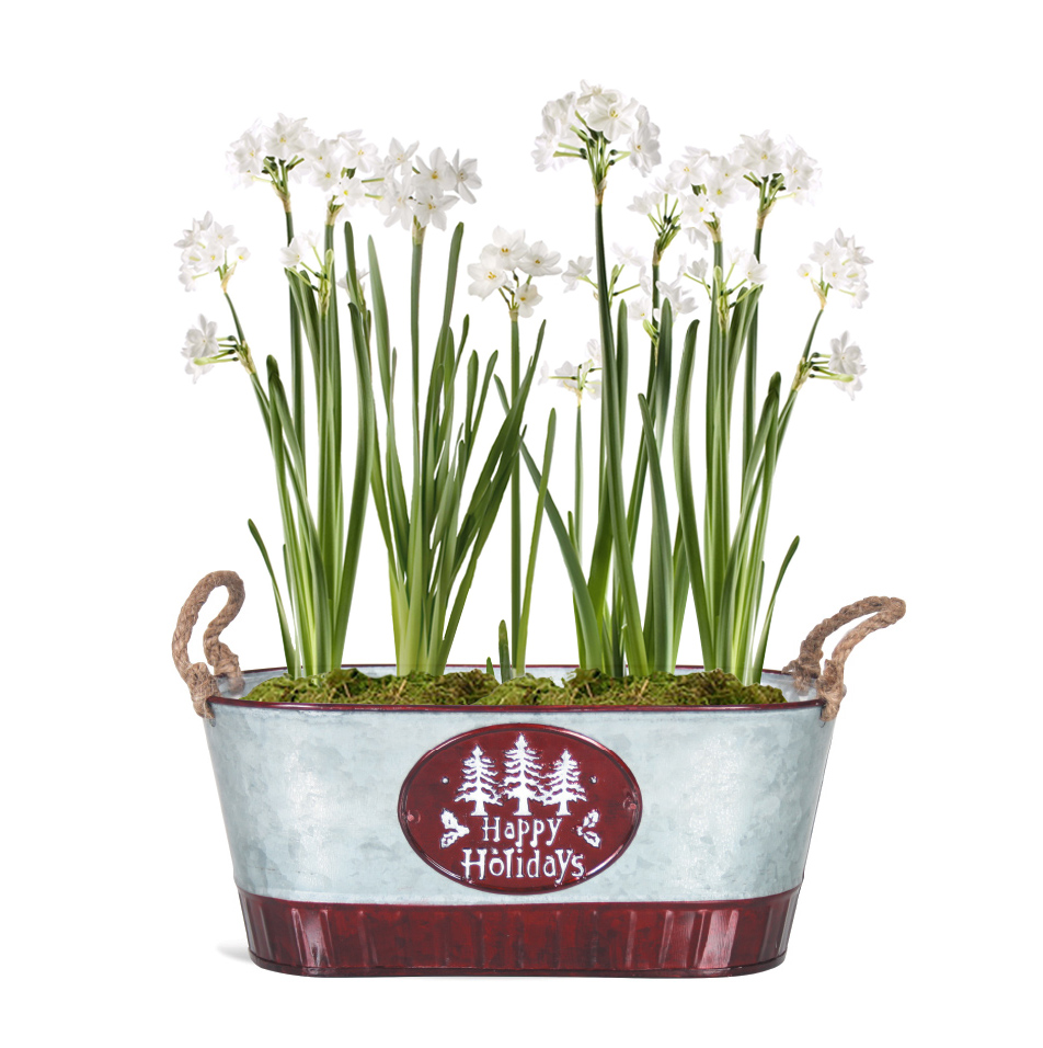 Paperwhites Holiday Pot Gift Kit Flower Bulbs R Us