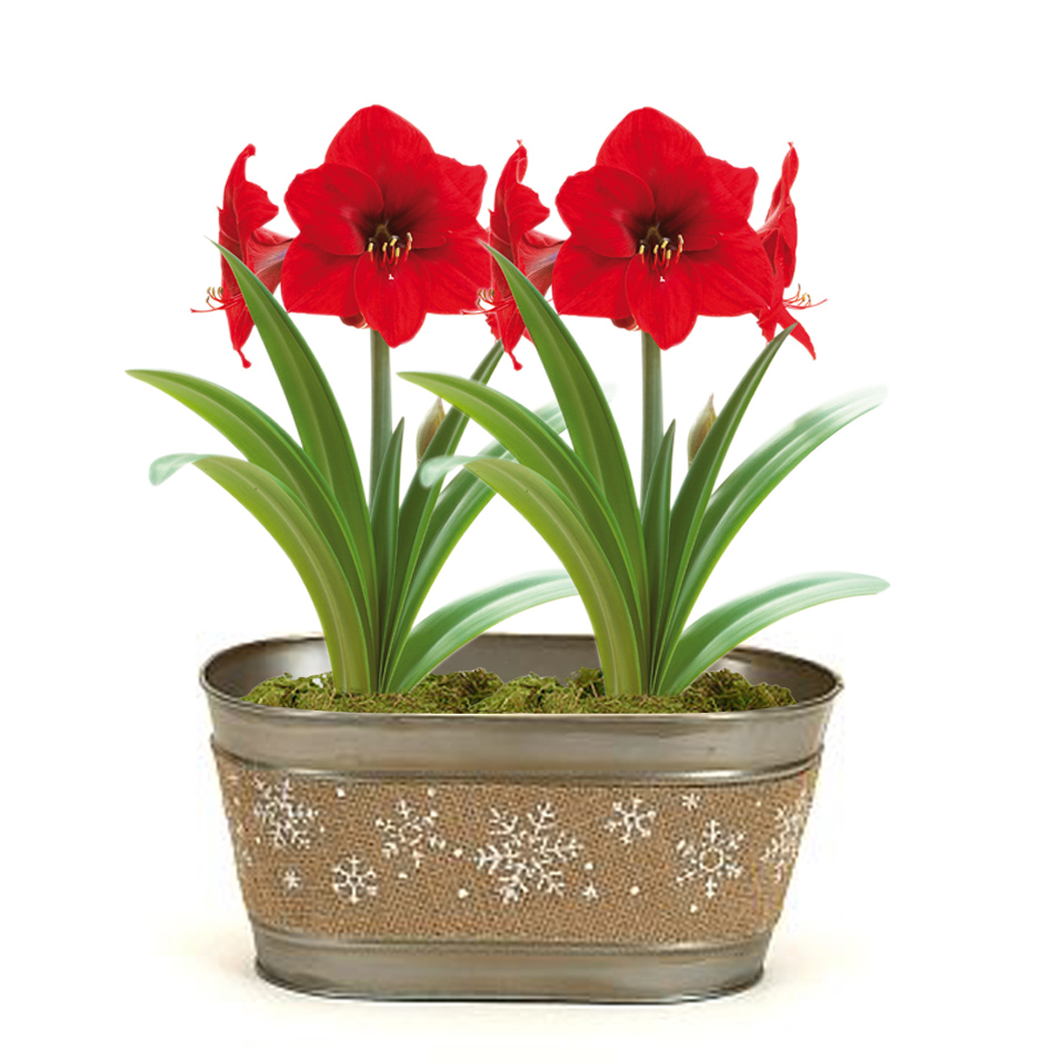 Amaryllis snowflake pot gift kit 2 flower options for Pot amaryllis