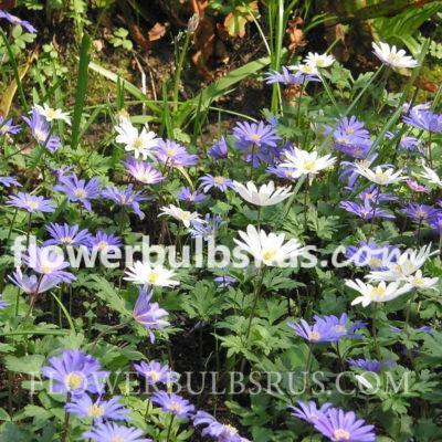 Anemone Blanda Mixed, flower bulbs, garden