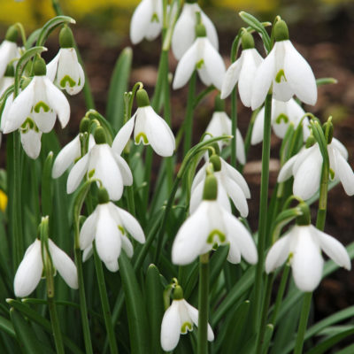 Galanthus.nivalis.a