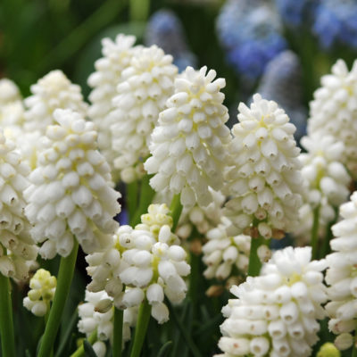 Muscari aucheri White Magic, flower bulbs, garden