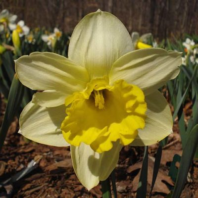 Narcissus Pistachio, daffodils, flower bulbs, garden