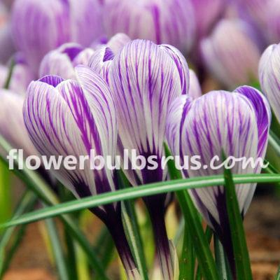 Crocus Pickwick, crocus, flower bulb, garden