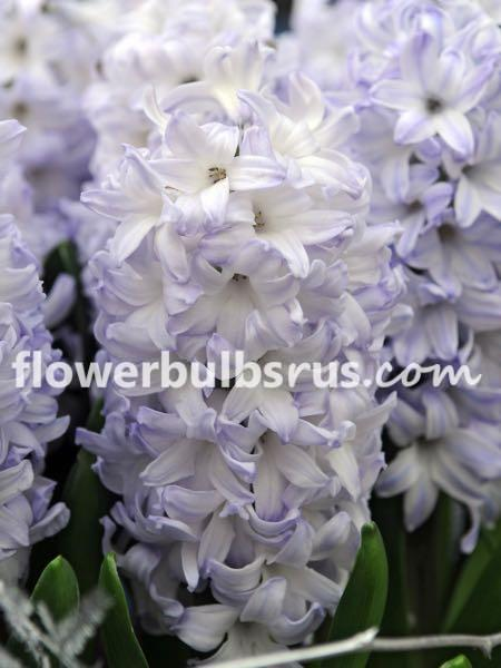 Hyacinth Aqua, hyacinth, flower bulbs