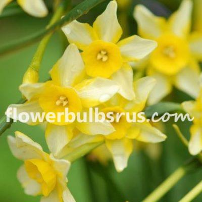 Narcissus New Baby, daffodil, flower bulbs, garden