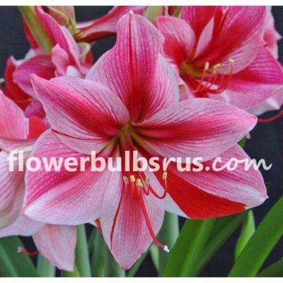 shop, amaryllis, flower bulbs, garden