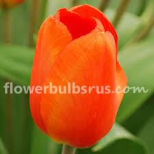 Tulip Orange Sun, tulip, flower