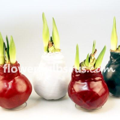 amaryllis, wax, flower bulbs