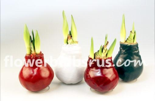 amaryllis, wax, flower bulbs
