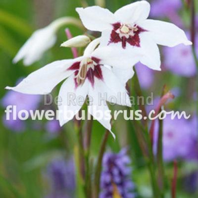 ACIDANTHERA, flower bulb, flowers, garden