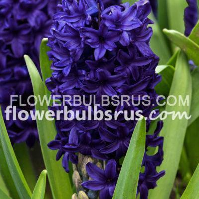 hyacinth, flower bulb