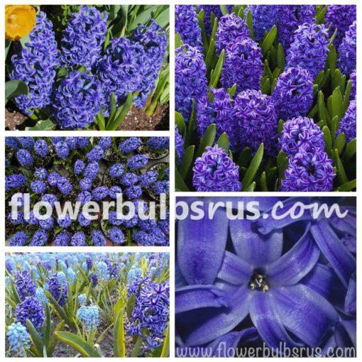flower bulbs, hyacinth