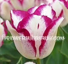 tulip, affaire, tulipa, flower bulbs, flowers
