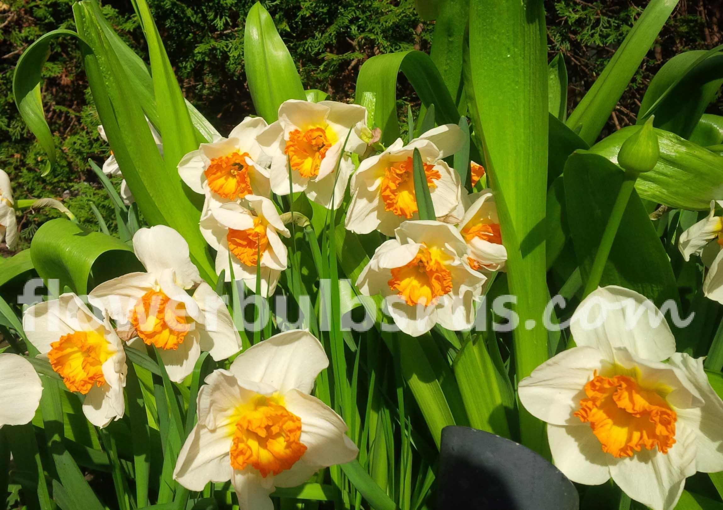 cdv full throttle Narcissus