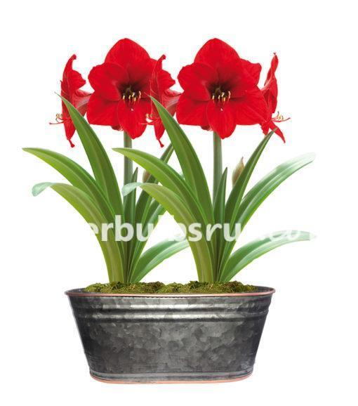 Amaryllis black oval copper rim pot Gift Kit, amaryllis, flower bulbs
