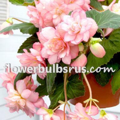 Begonia pendula Pink, begonia, flower bulb