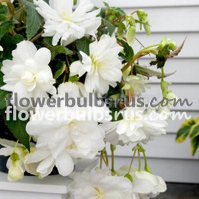 Begonia pendula White, begonia, flower bulbs, flower
