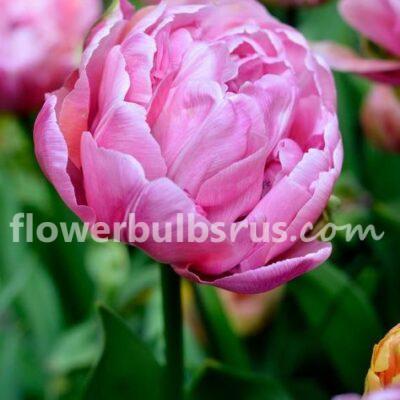 Tulip Amazing Grace, tulip, flower bulb, garden
