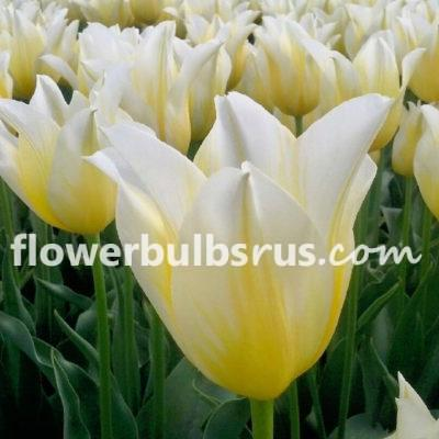 all about tulips, tulip, tulipa, flower bulbs, garden