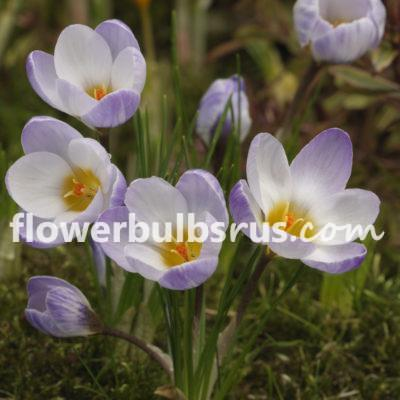Crocus sieberi Firefly, crocus, flower bulbs