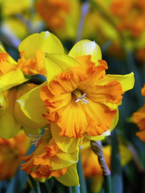 flower bulbs, Narcissus congress, daffodil, flower