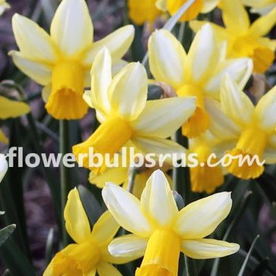 Narcissus Mother Duck, daffodil, flowers, garden