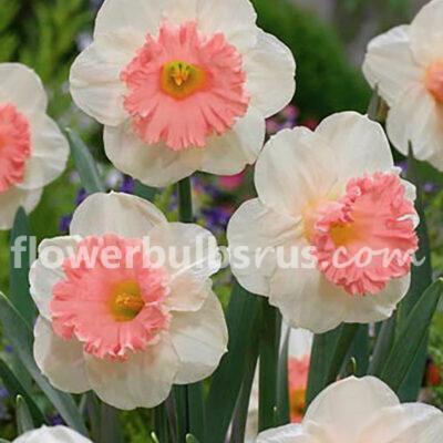 Narcissus Pink Parasol, daffodil, flower bulb, garden