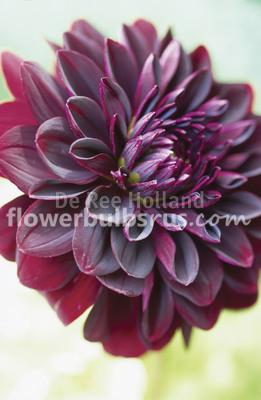 dahlia, flower bulbs, flower