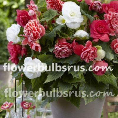Begonia, flower, garden, flower bulb