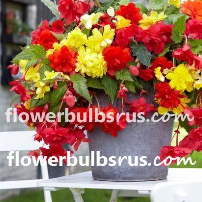begonia, flower bulbs, begonias, sunny