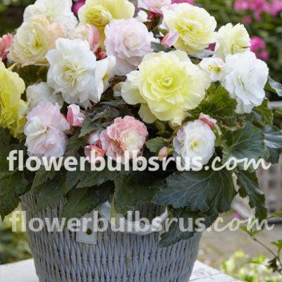 begonia, flower bulbs, flower, begonia lemon bossom