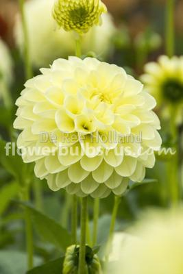 Dahlia Boom Boom Yellow, dahlia, flower bulbs, flowers, garden