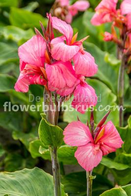Canna China Doll, canna lily, flower, flower bulb, garden, container planting