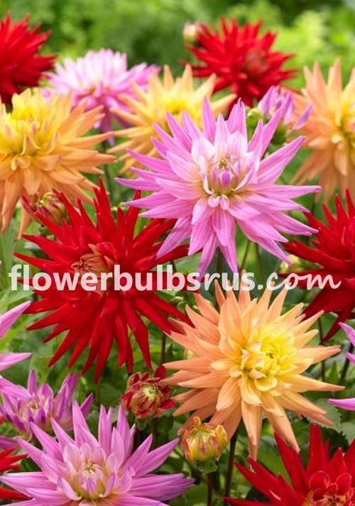 Dahlia Colourful Stars, dahlia, flower, flower bulbs, garden