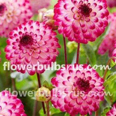 Planting Summer Flower Bulbs, Dahlia Little Robert, dahlia, flowers, flower bulbs, garden