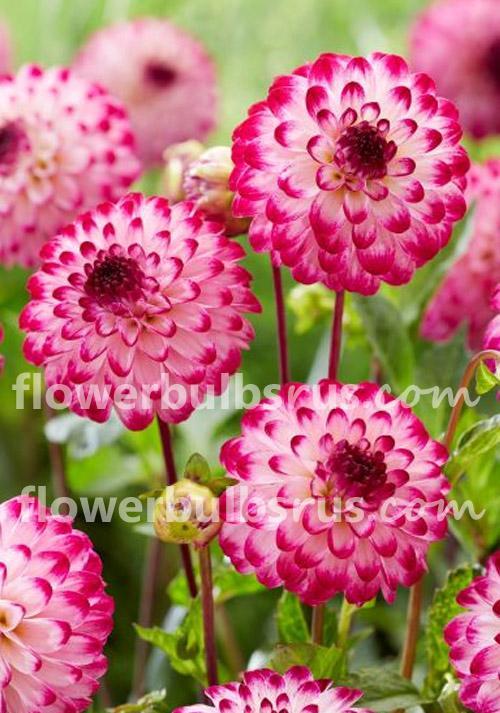Planting Summer Flower Bulbs, Dahlia Little Robert, dahlia, flowers, flower bulbs, garden