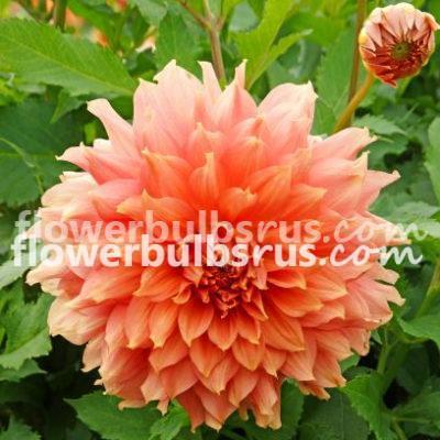 Dahlia Otto's Thrill, dahlia, flower bulb, garden