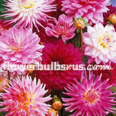 Dahlia Pink Blend, dahlia, pink, flowers, flower bulbs, garden