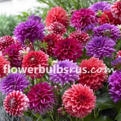 dahlia tropical punch, dahlia, flower bulbs, garden
