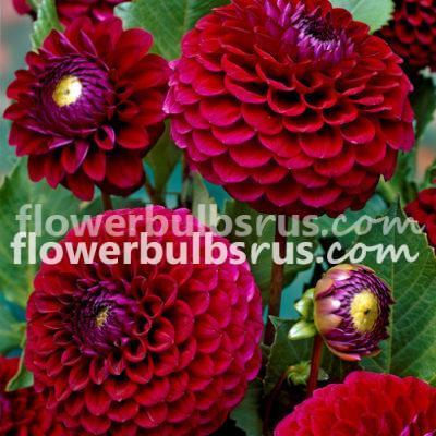Dahlia babette, dahlia, flower bulb, flower, garden