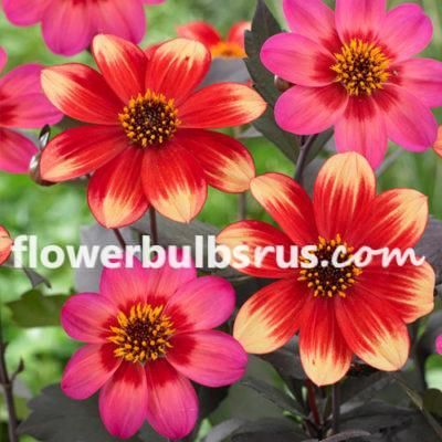 Dahlia indian summer, flower bulb, flowers, garden