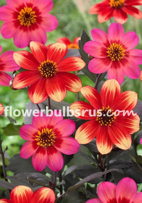 Dahlia indian summer, flower bulb, flowers, garden