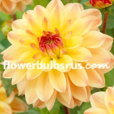 Dahlia Tequila Sunrise, dahlia, flower bulb, flower, garden