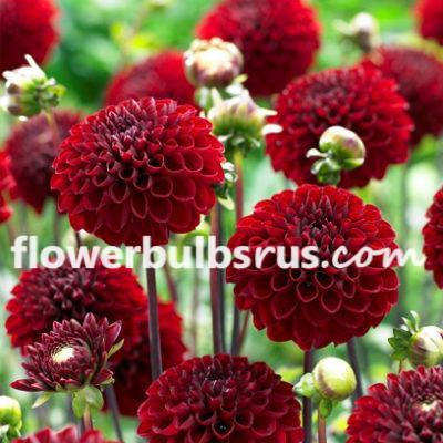 Dahlia viking, dahlia, flower bulb, flowers, garden