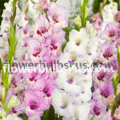 Gladiolus Cotton Candy, Gladiolus, flower bulbs, flowers, garden