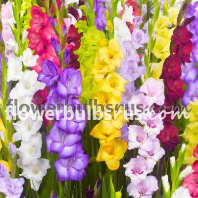 Gladiolus Tutti Frutti, gladiolus, flower, flower bulb, garden