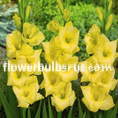 gladiolus, gladiolus nova lux, yellow, flower, flower bulb